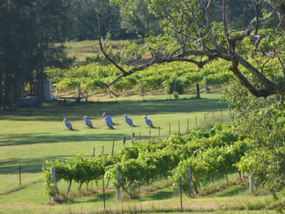 Hunter Valley Vineyard, Wollombi Wines