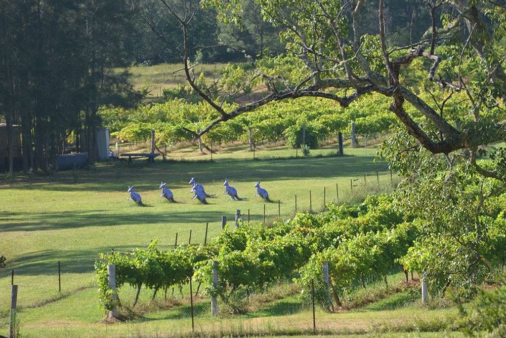 Hunter Valley Vineyard, Wollombi Wines